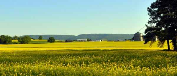 Rapeseed Fields – Belvidere, Tennessee
