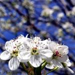 Bradford Pear Blooms