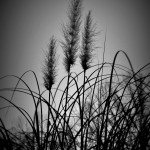 Twilight Pampas Grass