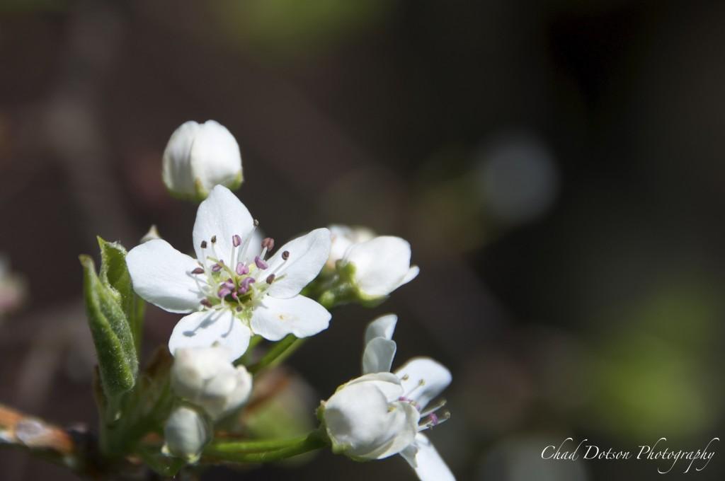 2015_03_23_Spring_Bradford_Pear
